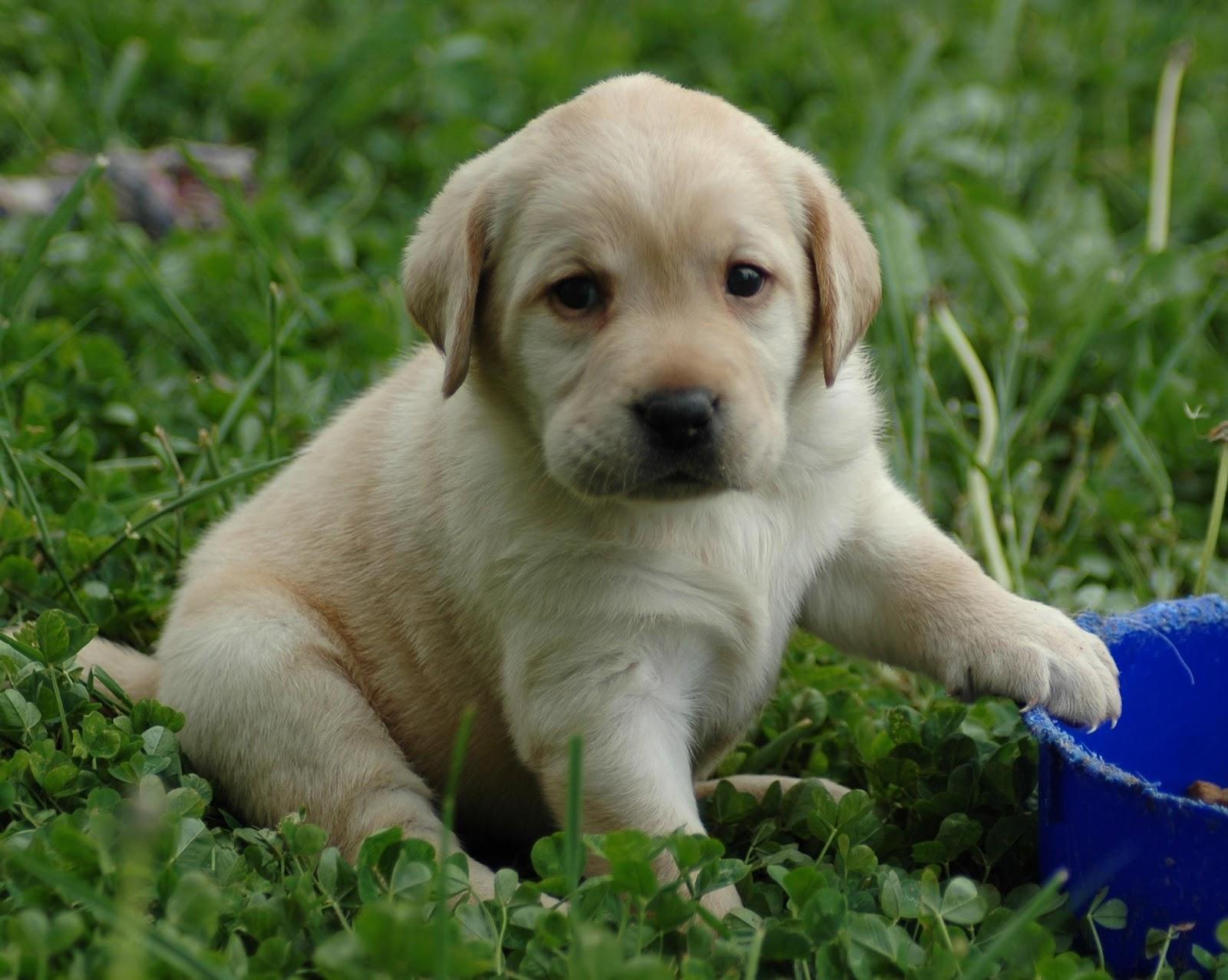 yellow lab dog - photo #2