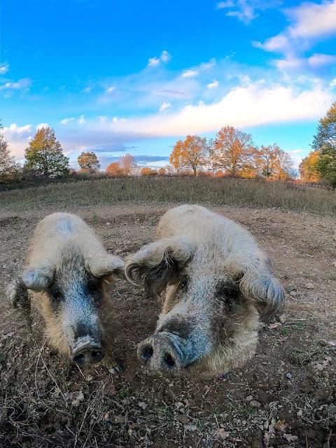 Mangalitza varkens