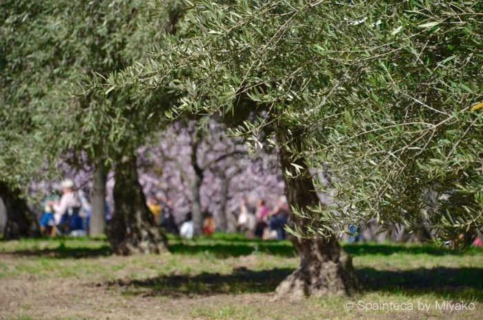 スペインのマドリードの公園内の緑の葉が生い茂るオリーブの木