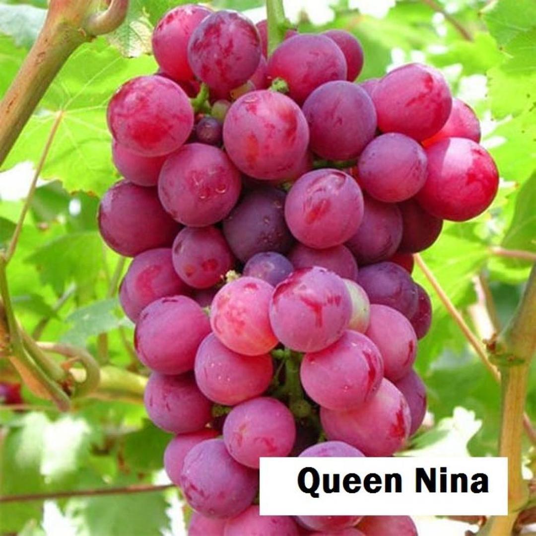 Buruan Beli! Bibit tanaman buah anggur import Nina Queen Kota Bandung #bibit buah