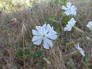 Compagnon blanc - Silene latifolia - Silène blanc