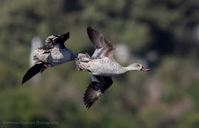 Two Cape Teal Ducks in Flight Woodbridge Island Image Copyright Vernon Chalmers Photography