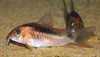 Jenis Ikan Corydoras zygatus
