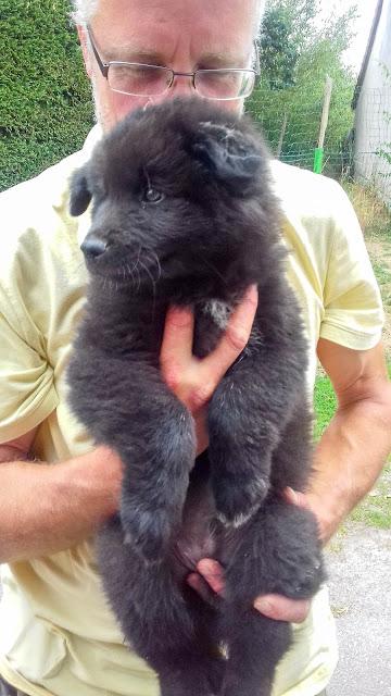 Obiwan, Finse lappenhond, pup 10 weken