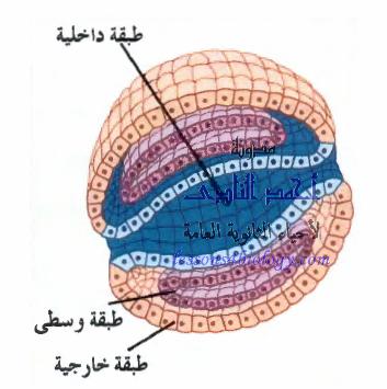 طبقات الجسم فى التوتية - الداخلية - الخارجية - المتوسطة