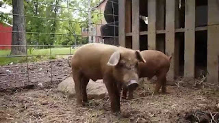 Red Wattle Pig Facts, Size, Lifespan, Growth Rate, Meat