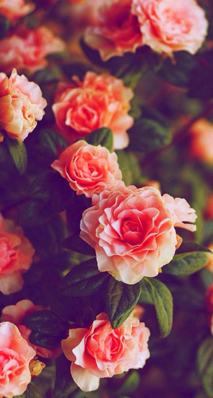 Papel De Parede Celular Rosas No Jardim