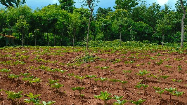 budidaya tanaman porang