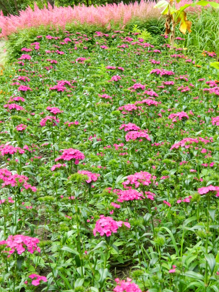 Massed sweet william Dianthus barbatus pink astilbe James Gardens Etobicoke by garden muses-not another Toronto gardening blog