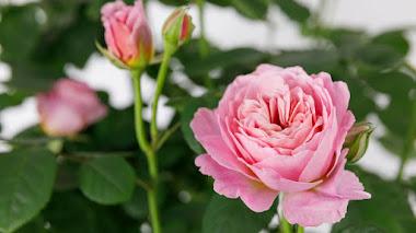 Rosa 'Eustacia Vye', una de las nuevas Rosas Inglesas de David Austin Roses