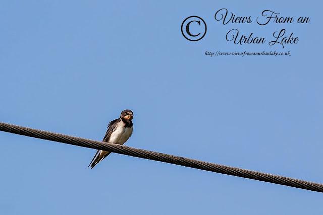Swallow - Wolverton Mill, Milton Keynes