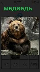 бурый медведь сидит около бревна и смотрит