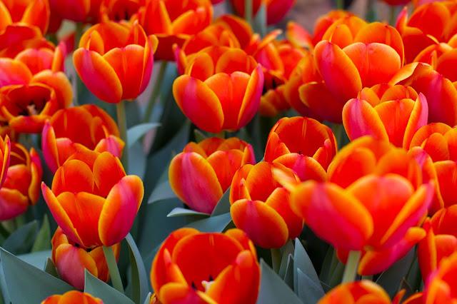 Fonds d'écrans printemps tulip