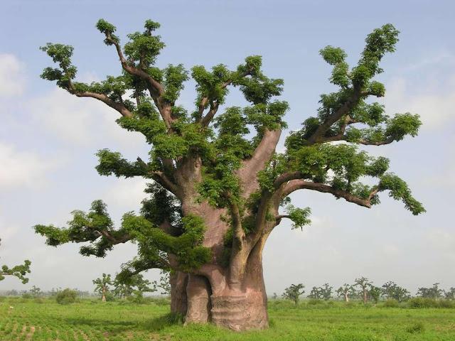 Baobab, l'arbre trésor du Sénégal :   Culture, arbre, bois, baobab, emblème, trésor, sacré, fruit, réunion, cérémonie, village, rite, LEUKSENEGAL, Dakar, Sénégal, Afrique