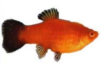 Ikan Platy Betina