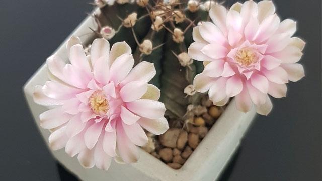 ยิมโนดอกสีชมพู