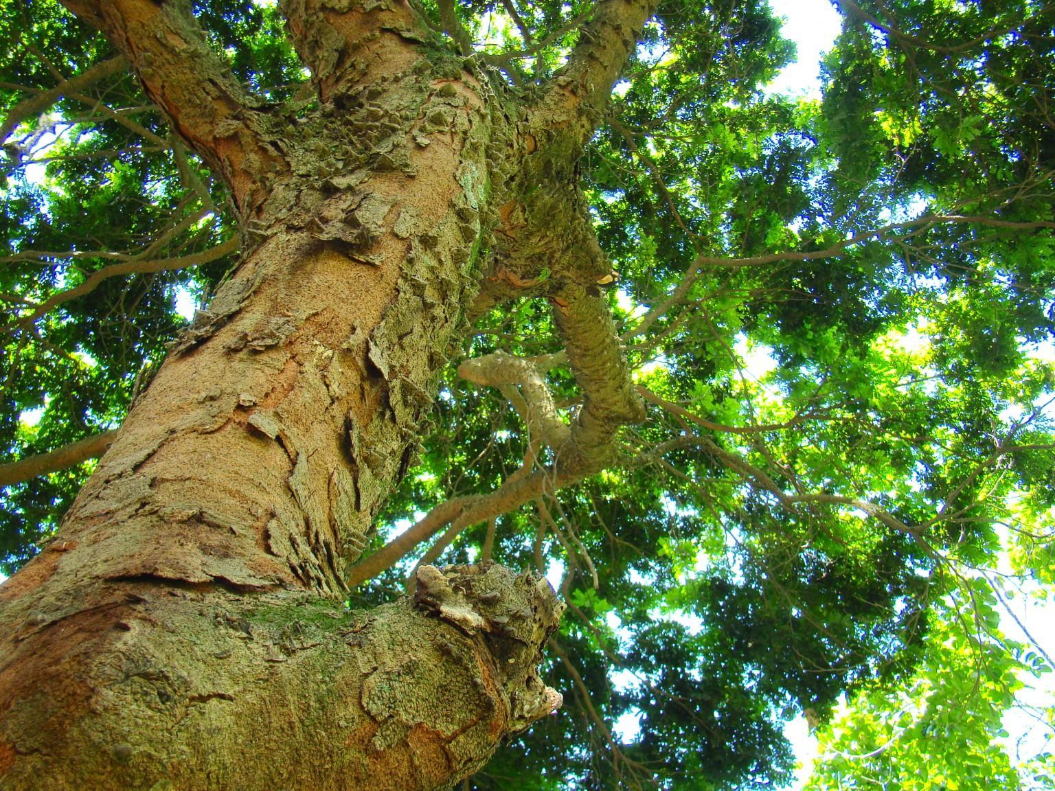 Pau-Brasil (Caesalpinia echinata)