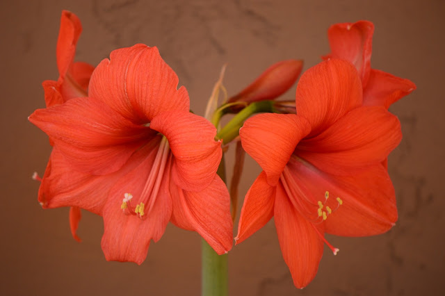 garden bloggers bloom day, gbbd, desert garden, february, small sunny garden, amy myers, hippeastrum, naranja, amaryllis
