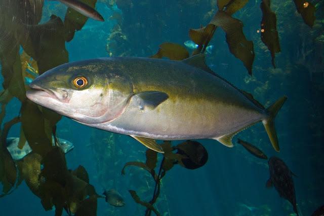 yellowtail fish in kelp