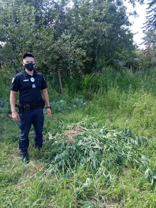 У Глевасі на Васильківщині чоловік вирощував на подвір'ї канабіс