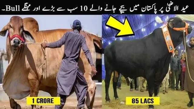 Qurbani Eid 2020 To 2021 | Qurbani K Janwar | Qurbani Videos? | Qurbani | Cow Qurbani
