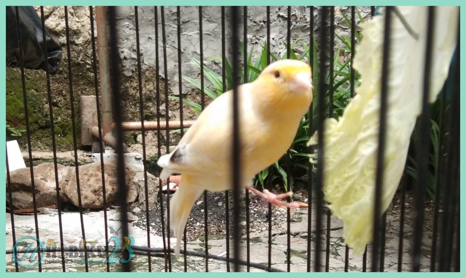 Manfaat Sayuran Sawi Untuk Burung Kenari Hobiku23
