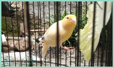 Burung kenari ialah jenis burung yang mempunyai kicauan yang khas dan warna bulu yang cant Manfaat Sayuran Sawi Untuk Burung Kenari