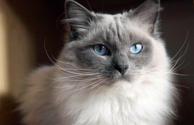 Sejarah kucing ragdoll