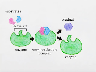 How enzyme Catalyze a chemical reaction