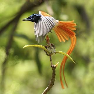 A ave vivente, que mais se aproximaria da fênix, em semelhança, seria a ave-do-paraíso