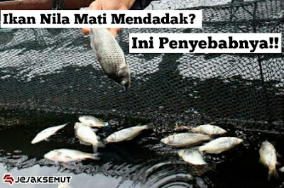 penyebab ikan nila mati mendadak