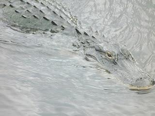 Wild Alligators in Virginia?