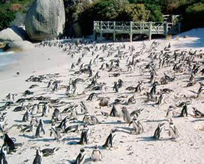 Pantai Penguin afrika selatan