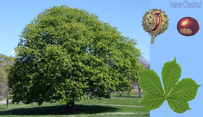 horse chestnut tree