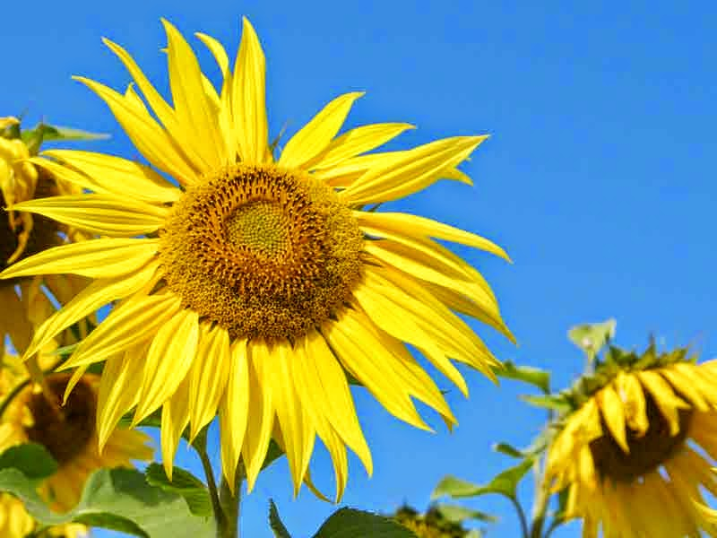 sunflowers, blue sky