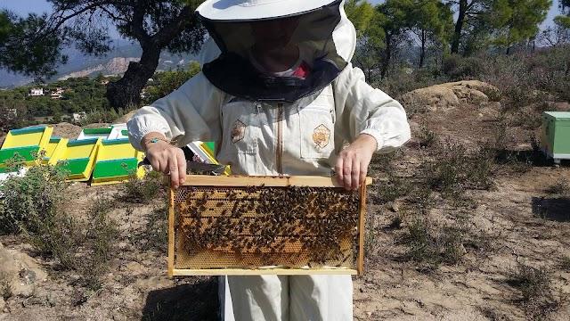 Πωλούνται παραφυάδες και 10αρια παραγωγικά μελισσοσμήνη σε καλή τιμή