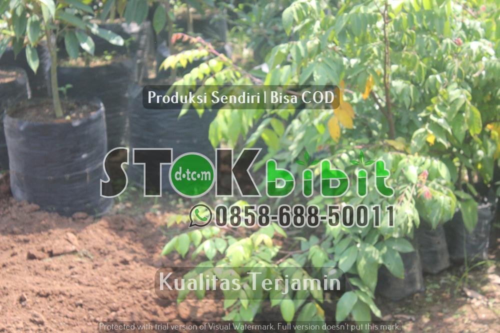 Kunci sukses usaha budidaya bibit tanaman      Berkwalitas       Unggul