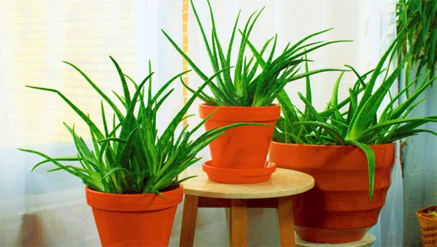 tanaman hias lidah buaya (aloe vera)