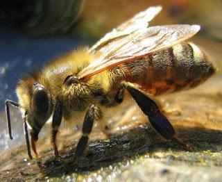 Foto de una abeja de perfil