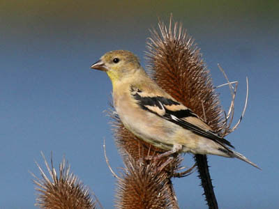 Photo of juvenile American Goldfinch on teasel stalk