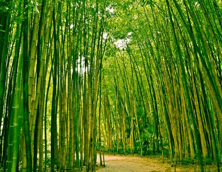 Cara Berkembang Biak Tanaman Bambu
