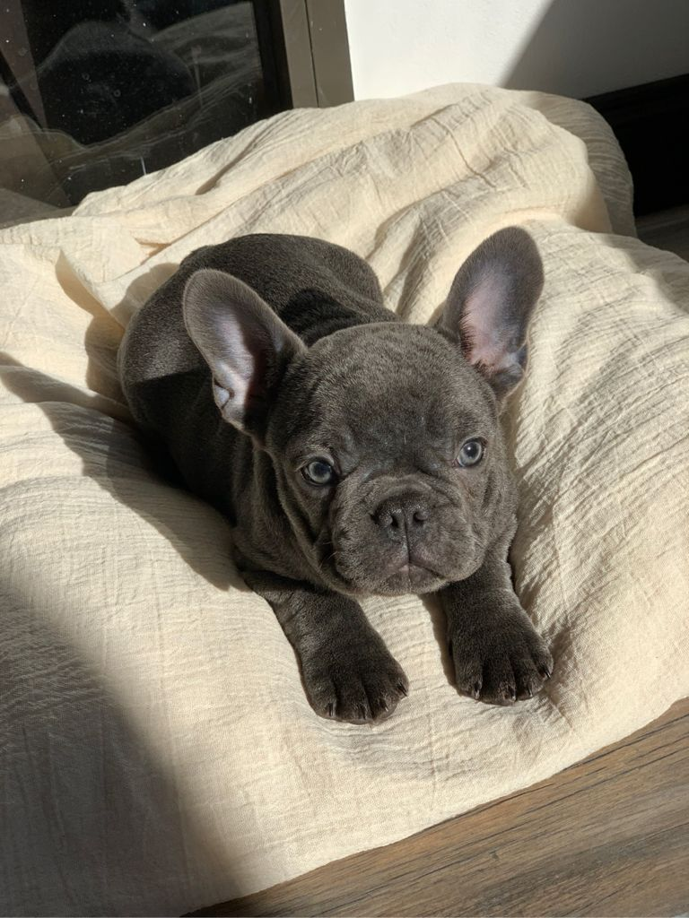 Bulldog Francés Blue