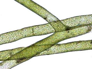 Filamento Algae-Fuel