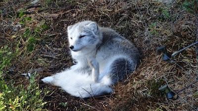 Stellen Sie sich einen Fuchs beim Kratzen vor.