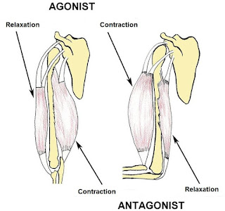 Agonist and antagonist muscle pairings
