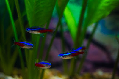 Four neon tetra in an aquarium