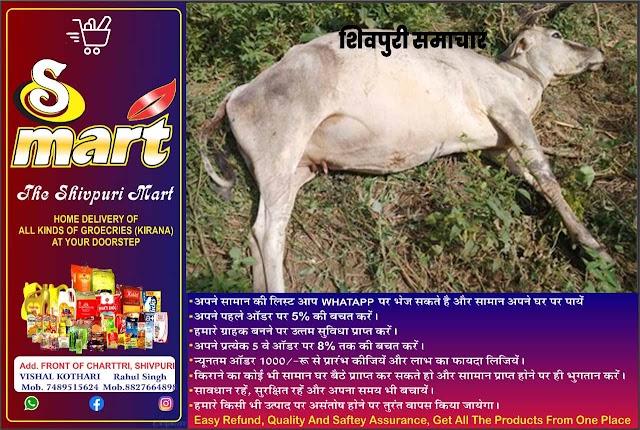 मिल से निकला जहरीला पदार्थ गायों ने खाया, आधा दर्जन की मौत, कार्यवाही की मांग - SHIVPURI NEWS