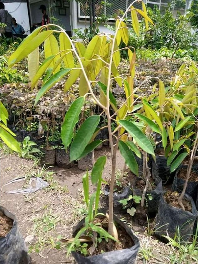 Bibit Buah Durian bawor cepat berbuah bibit durian bawor genjah bisa berbuah dalam pot Jawa Tengah
