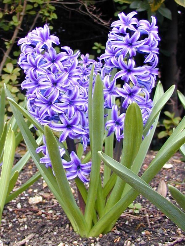 Hyacinth si cantik yang beracun