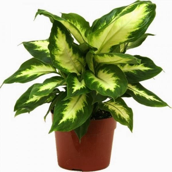 Peces y plantas ornamentales dieffembachia camilla for Plantas de interior hojas grandes